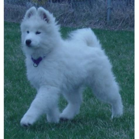 samoyed puppies for sale oregon ej samoyeds samoyed breeder in paxton illinois listing id 21893