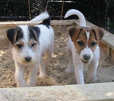 imagenes de un jack russell el perruno digital parson y jack russell terrier origen