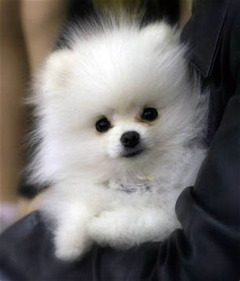 where do pomeranians originate from color