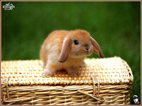 Baby Bunnies images baby bunnies HD wallpaper and