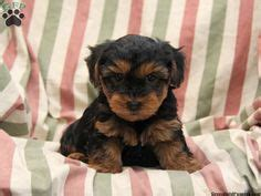 yorkie poos for sale in pa 1000 ideas about yorkie poo for sale on yorkie poo puppies puppies for