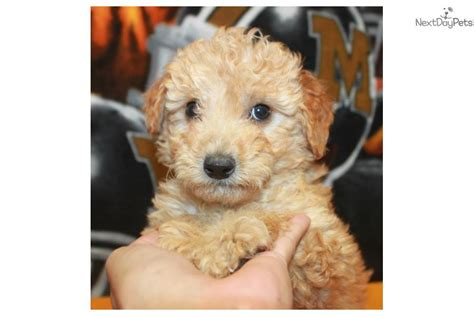 goldendoodle puppy crate meet buzz a goldendoodle puppy for sale for 1 050