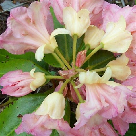 rhododendron growing