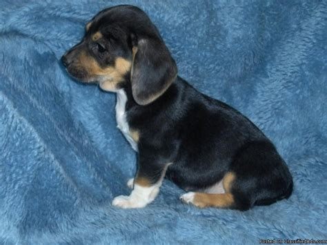 dachshund mix puppies for sale dachshund beagle puppies price 200 00 in baltimore maryland cannonads