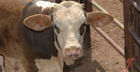 Tennessee Feeder Cattle Prices calf and feeder prices continue decline beef magazine