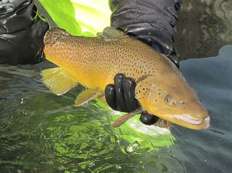 pa fish and boat commission trout stocked waters how do you find a pennsylvania trout stocking list