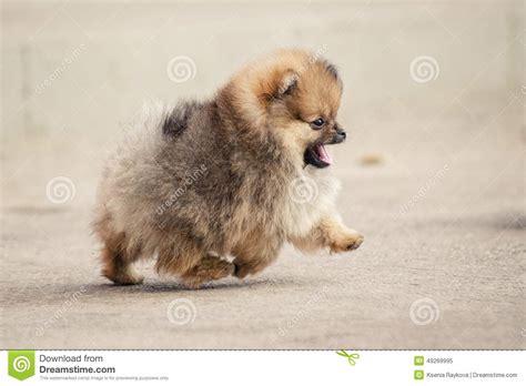 pomeranian walking pomeranian spitz puppy walking stock photo image 49269995