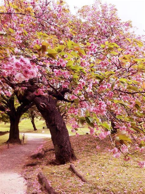 giappone in fiore ciliegi in fiore viaggi vacanze e turismo turisti per caso
