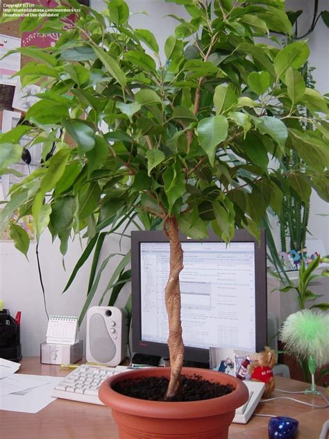 plantfiles pictures weeping fig chinese banyan ficus