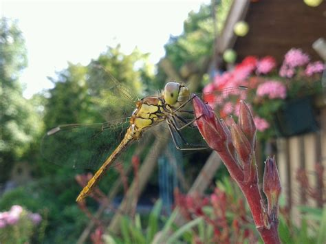 free photo dragonfly summer bug wings free image on