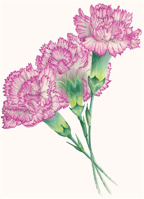 pink drawing carnations art pinterest january flower and flower