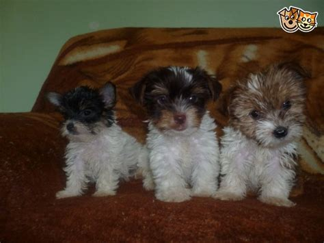gold dust yorkies for sale biewer biro gold dust yorkies sidcup kent pets4homes