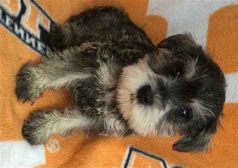 schnauzer puppies for sale in sc mini schnauzer puppies salt and pepper www pixshark images galleries with a bite