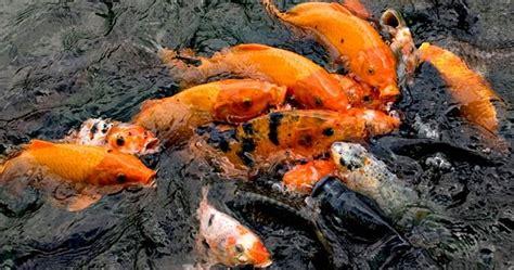 buat umpan ikan mas sederhana resep umpan mancing ikan mas sederhana