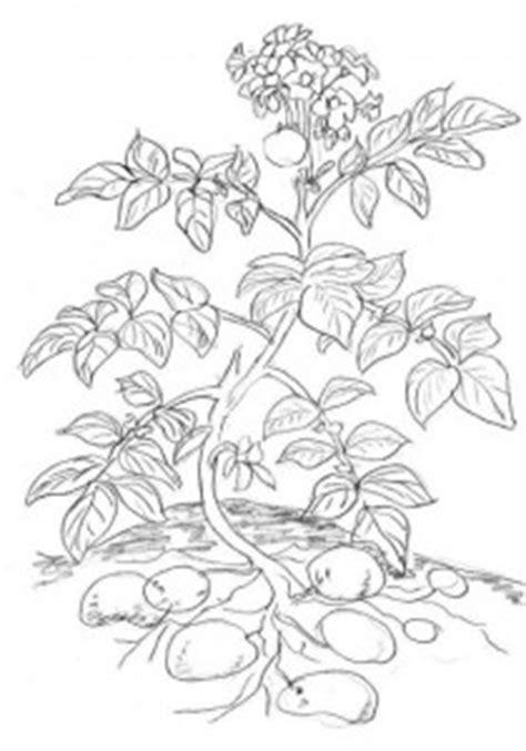 Beschriftung Kartoffelpflanze by Material Zum Thema Getreide Und Kartoffel Lernzentrum Am