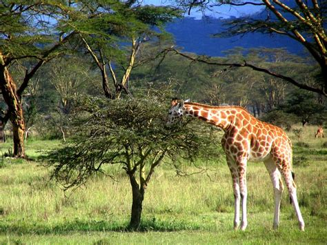 imagenes de jirafas comiendo hojas giraffe eating leaves giraffe facts and information