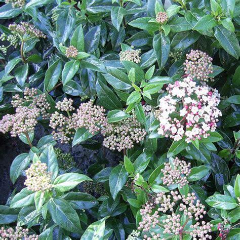 hardy flowering shrubs uk 1 x viburnum price evergreen shrub hardy garden