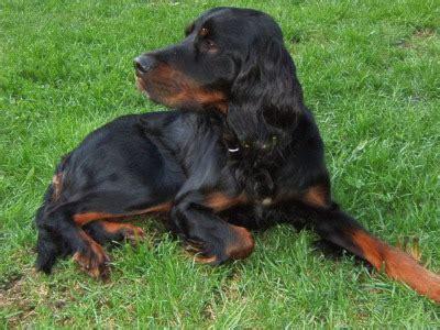 gordon setter dog for sale gordon setter puppies breeders setters