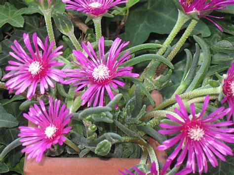 pianta grassa fiori fucsia piante grasse con fiori fucsia decora la tua vita