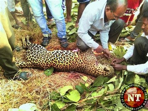Ox Leopard farmers kill leopard in a bid to save ox nagpur today