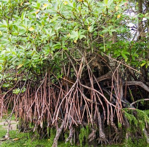 tanaman bakau