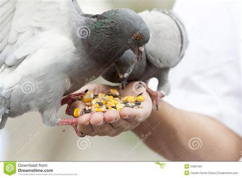 palomas de alimentacion imagen de archivo imagen