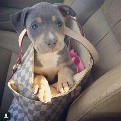 pitbull doberman mix puppies pit bull doberman mix i want