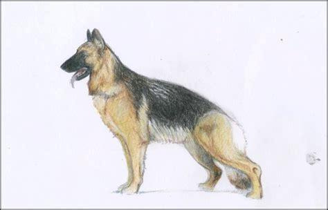 german shepherd drawing german shepherd by nevelyn on deviantart