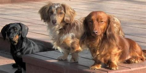 dachshund puppies for sale ny 10 ideas about dachshund puppies for sale on dachshund puppies daschund