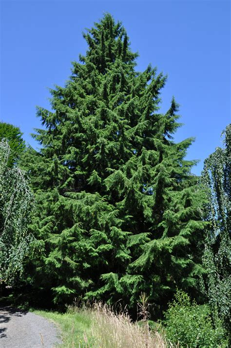 western hemlock tree facts identification distribution