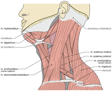 diagram of the neck neck muscles