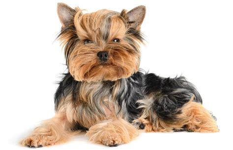 ebay yorkie puppies terrier glossy poster picture photo yorkie puppy puppies 218 ebay