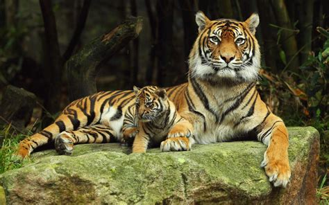 google images tiger tiger live wallpaper android apps on google play