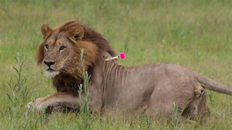 minicuentos de leones y a cinco leonas les crece melena y empiezan a actuar como leones ciencia el pa 205 s