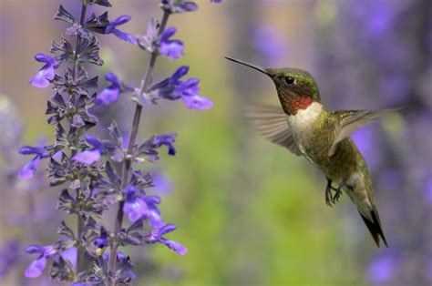 which flowers do hummingbirds like best