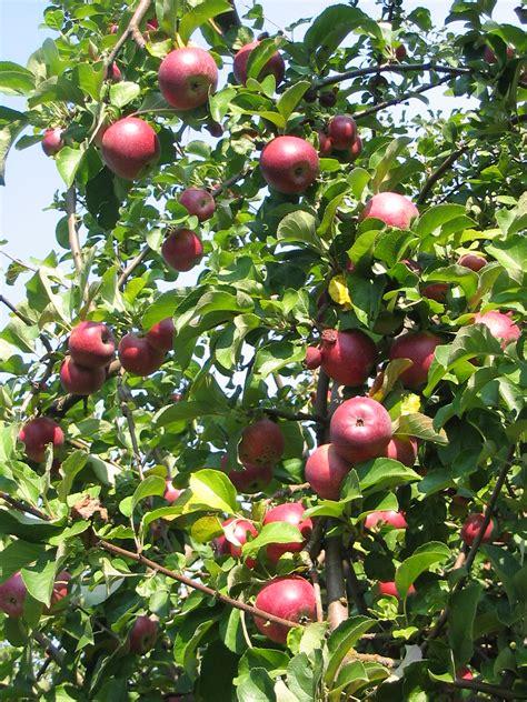 fruit x familia malus domestica la enciclopedia libre