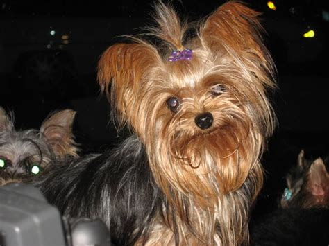 yorkie breeders pittsburgh pa terrier teacup puppies for sale in pa photo