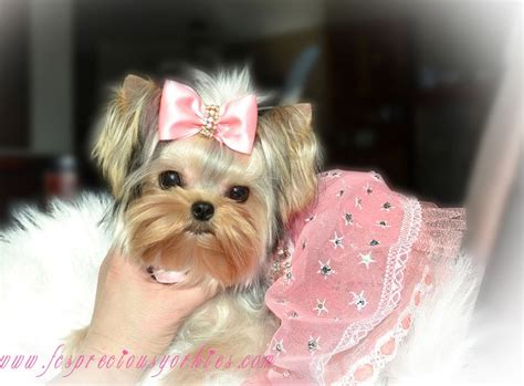 baby doll yorkie mesha is a baby doll faced yorkie is our precious and is tator