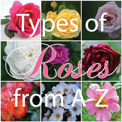 different types of roses and their names www imgkid com