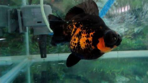 Anting Ikan Koki Goldfish ikan koki demekin goldfish