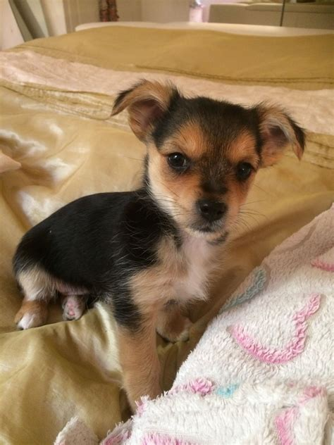 yorkie and chihuahua mix for sale beautiful chorkie yorkie chihuahua mix pets4homes