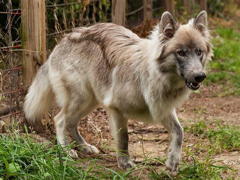 hybrid dogs wolf hybrid