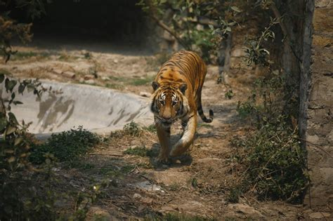 new year 2018 animal tiger nepal to its tiger population by 2018