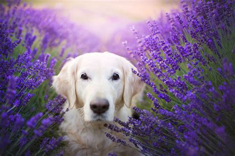 lavender on dogs photographer captured amazing portraits of dogs in lavender garden in poland