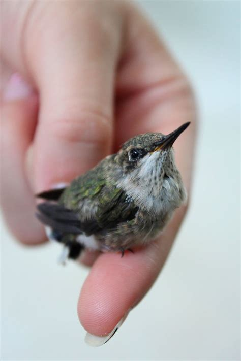 baby hummingbird hummingbirds pinterest