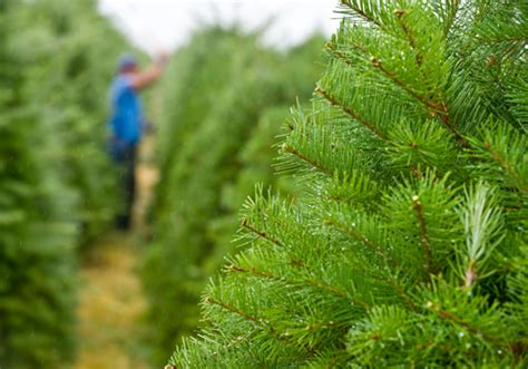 osu extension helps oregon s christmas tree industry