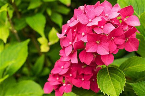 pflege hortensien im garten hortensien im garten tipps zur pflege