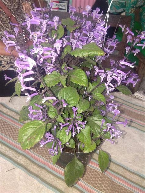 tanaman bunga ungu anget mas