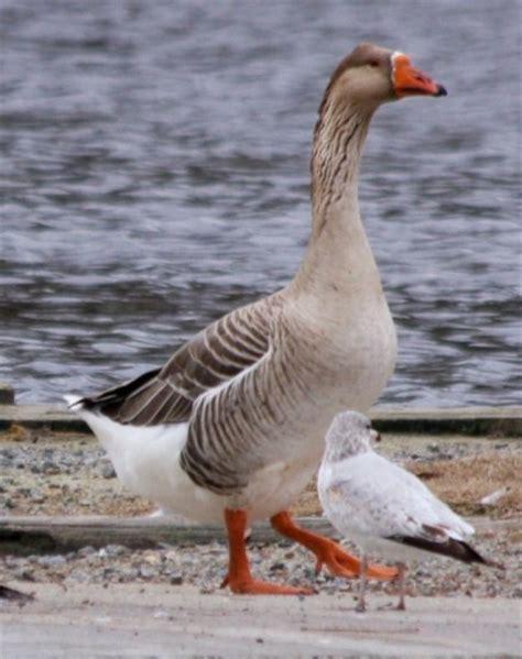 pomeranian geese december 1008 bird