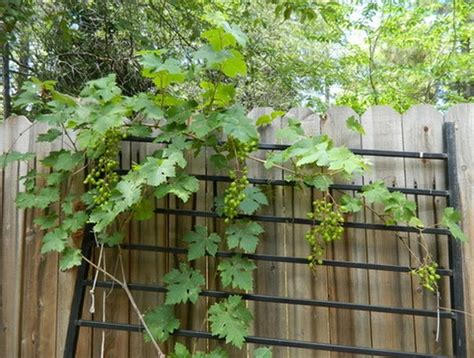 Pot Kecil Utk Tanaman Mungil 10 Biji cara menanam anggur dari biji dalam pot yang benar